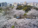 MaizuruHanami08.jpg