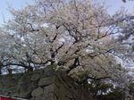 MaizuruHanami05.jpg