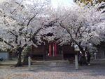MaizuruHanami09.jpg